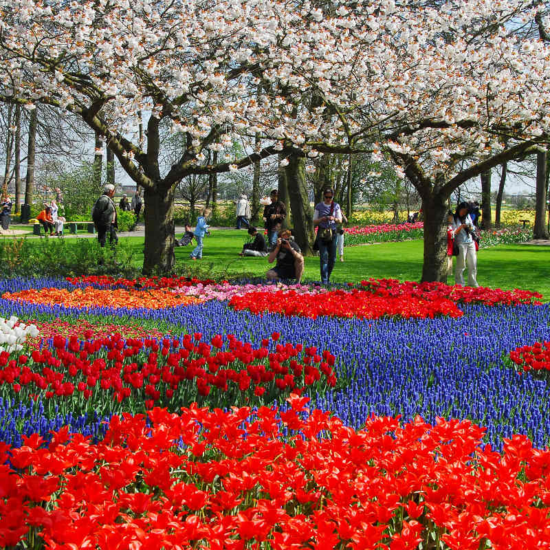 All different colored flowers with blossom trees in the Keukenhof.
