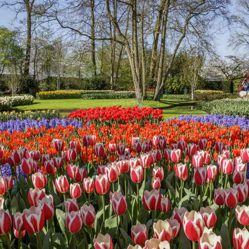 Tulips and trees insight the Keukenhof garden.