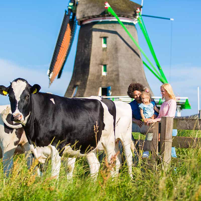 Couple with kid looking at cows in the Dutch Countryside with a windmill in the back.