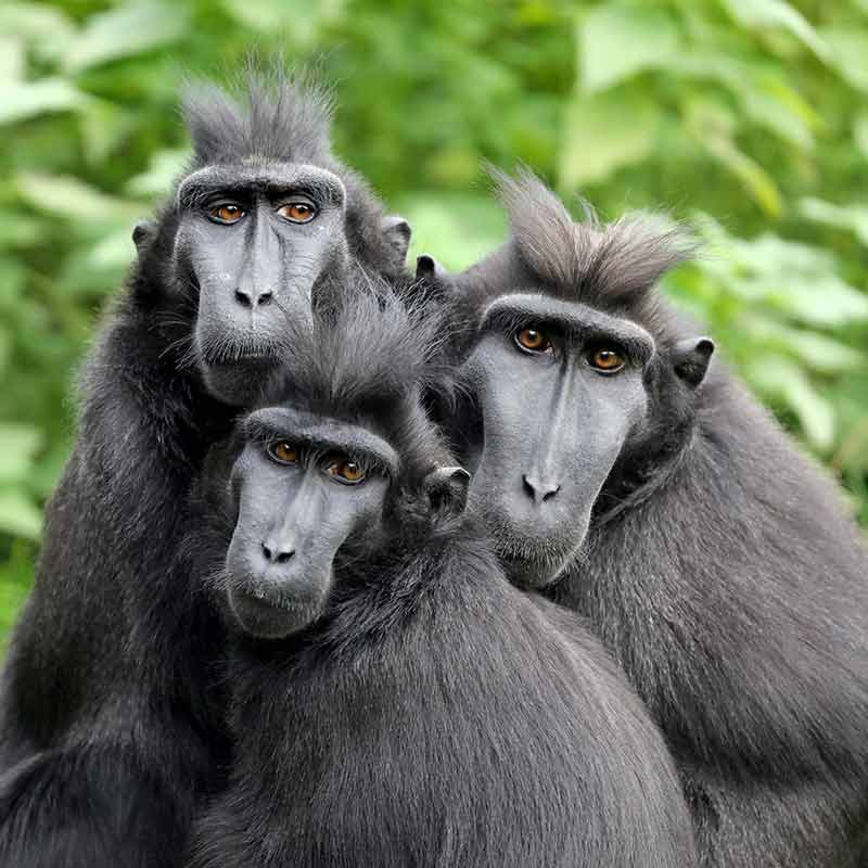 Three black monkey's staring at the camera in the Amsterdam Royal Zoo ARTIS.