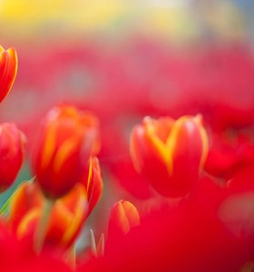 discount tickets to tulip festival at thanksgiving point 2018