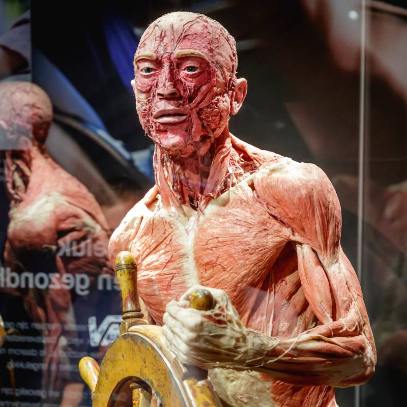 A plastinate of a human body as shown in Body Worlds Amsterdam.