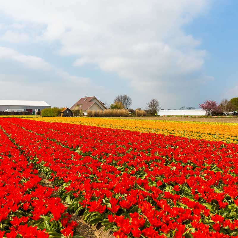 Flowerfields full of different colored tulips at the Keukenhof.