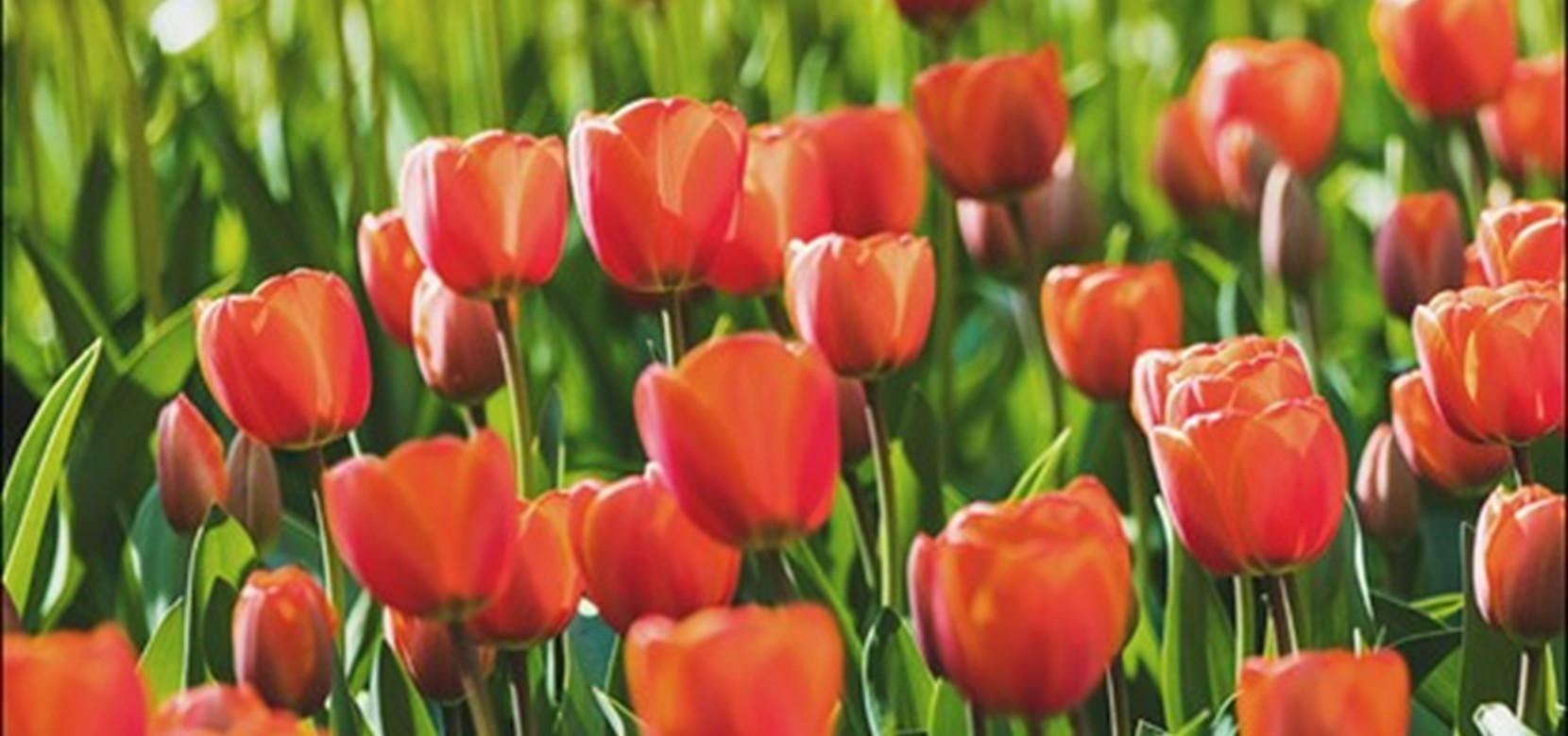 The top 3 places to find tulips in Amsterdam