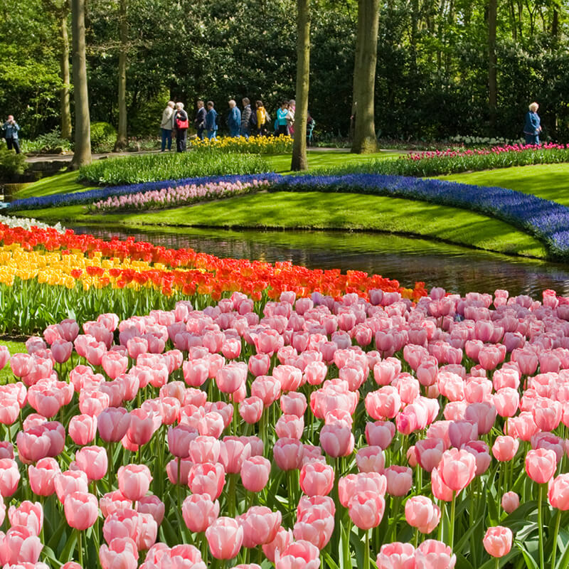 Different colored tulips in the Keukenhof flowerpark with small canal.