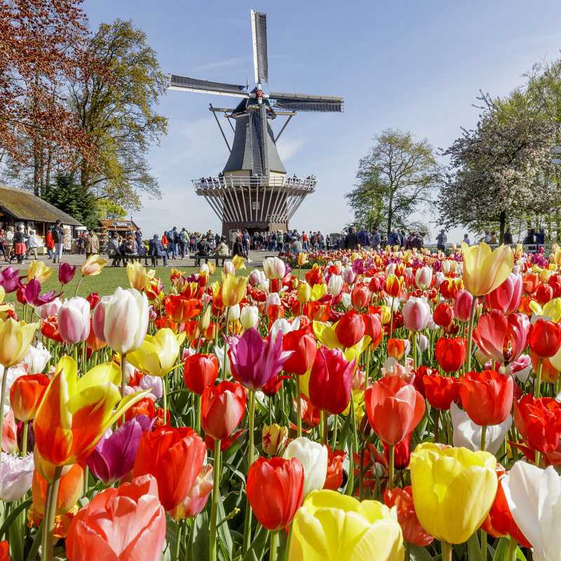 Keukenhof garden with tulips, people and a Dutch windmill.